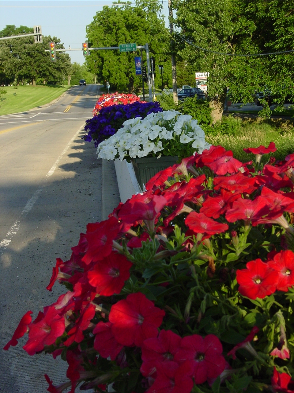 red, white and blue petunias on bridge rail